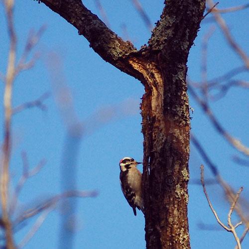 Downy woodpecker (Beverly James)