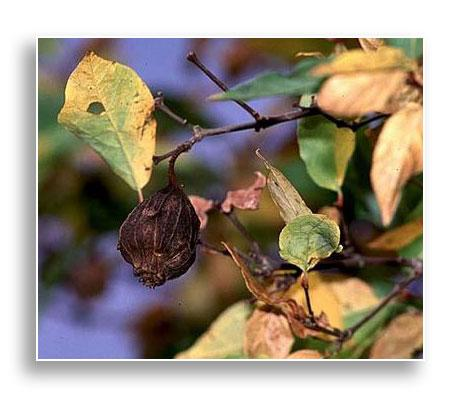 UKnTrees---UFI-Carolina-Allspice-Photo2-Dec