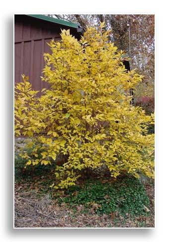 UKnTrees---UFI-Carolina-Allspice-Photo4-Dec