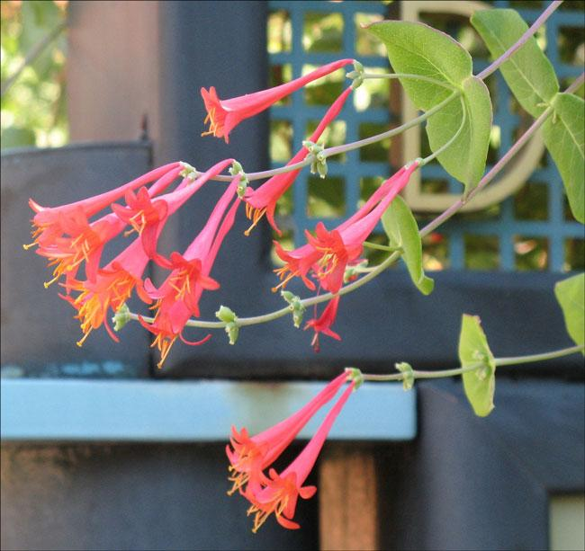 Lonicera sempervirens, Trumpet honeysuckle. Photo by Greg Goebel