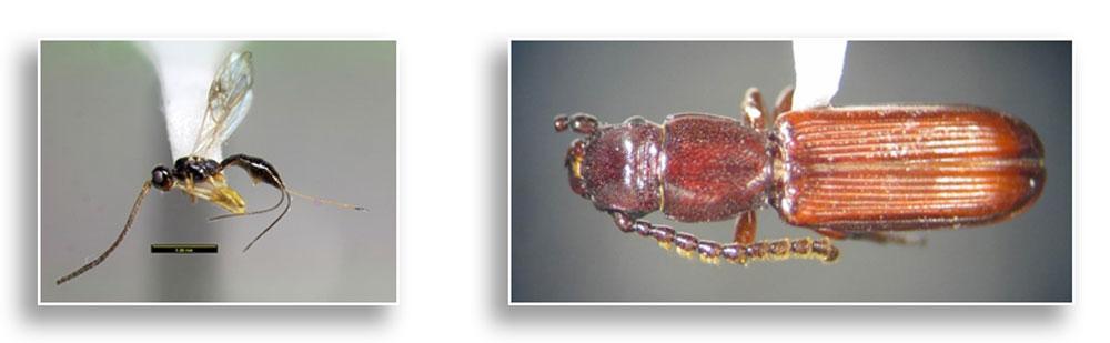 EAB parasitic wasp, Heterospilus sp., and parasitic beetle, Catagenus rufus