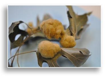 UKnTrees---wooly-oak-leaf