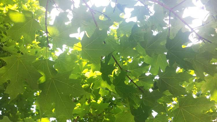 The favorite sugar maple of Sarah in September 2016