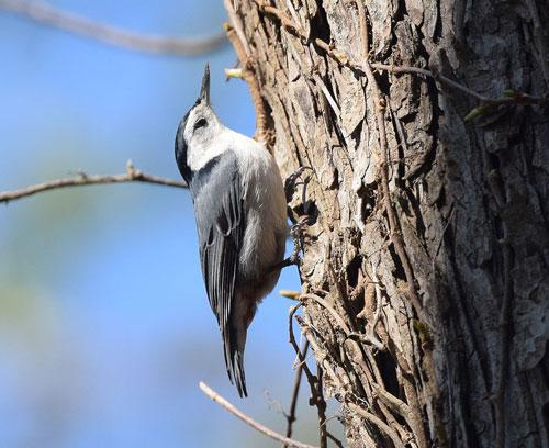 White-breasted nuthatch; by Andy Reago & Chrissy McClarren Wikimedia Commons