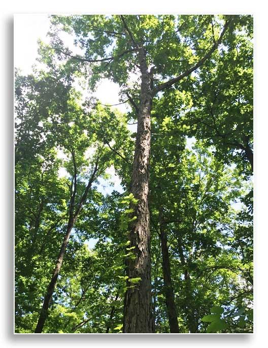 White oak bark provides spaces for bats (Photo by Josie Miller)