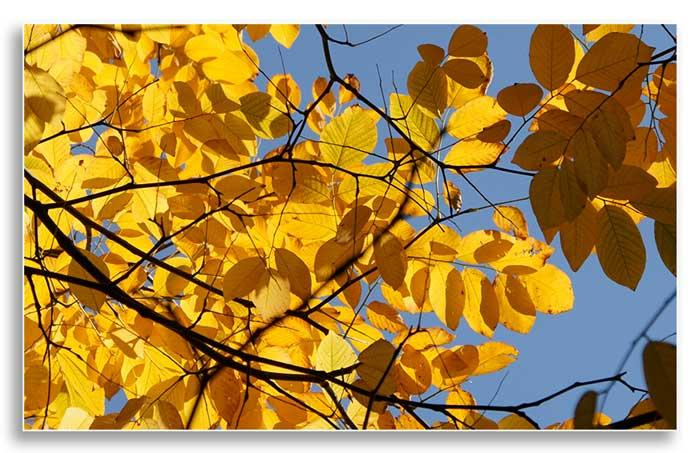 Yellow leaves of the yellowwood (Flickr - Romana Klee)