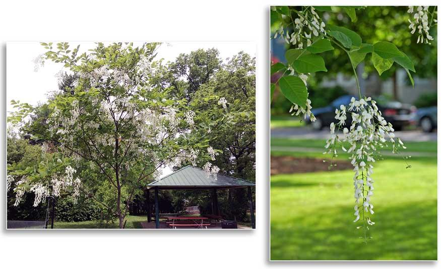 (Left) Yellowwood in flower at Hill N Dale Park, Lexington, KY. (N. Williamson); (Right) Close-up of yellowwood flowers (Flickr - Tom Gill, CC)