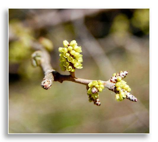 Flowers of aromatic sumac (Rhus aromatic), photo by Beverly James