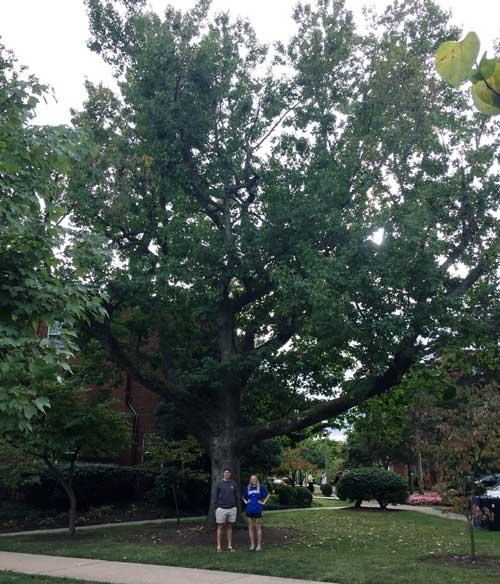 The favorite Sweetgum of Nathaniel Vogler and Chloe Vorseth in September 2015