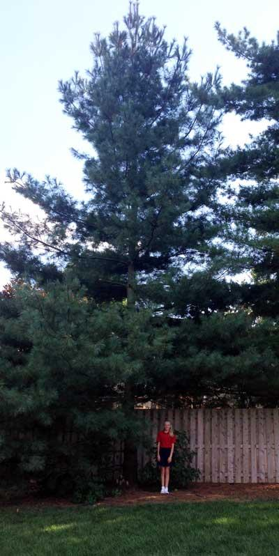The favorite Eastern White Pine of Abbey in Summer 2015