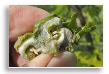 UKnTrees---gnarled-oak-leaf