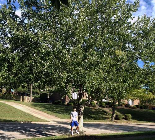 The favorite Sugar Maple of Luke in Summer 2015