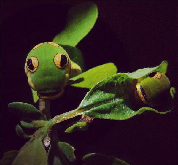 Spicebush swallowtail caterpillars at Floracliff Nature Sanctuary in Fayette County. Photo by Josie Miller