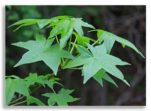 UKnTrees---sweetgum-leaves
