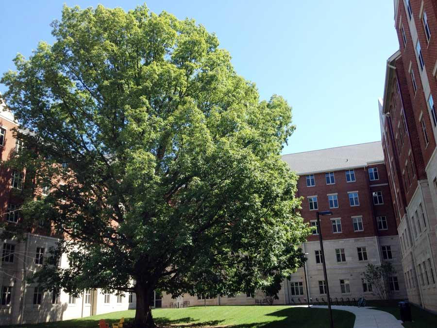 White oak (Quercus alba) in the courtyard of Woodlang Glen II, May 2015 (N. Williamson)